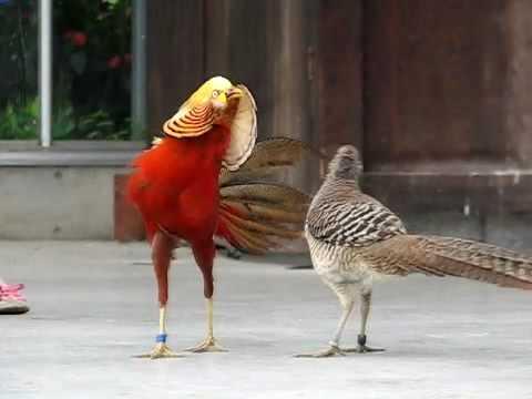 キンケイの求愛行動 Golden Pheasant spread cape in display