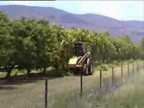 Mango Trees Pruning Australia video