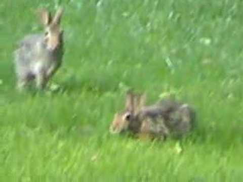 Wild rabbit behaviors