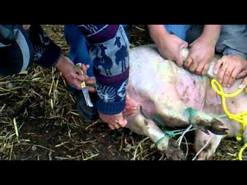 sin los cocos_castradura de un cerdo no apto para personas sencibles.