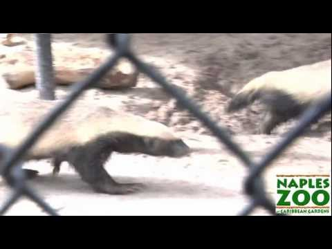 Honey Badger Narrates: The Crazy Nastyass Honey Badgers of Naples, FL