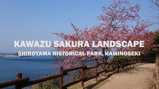 """河津さくら 上関城山歴史公園  Landscape  """"Kawazu Sakura"""" Shiroyama Historical Park  Kaminoseki"""