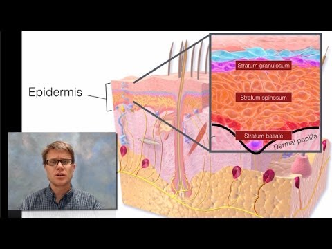 Integumentary System  YouTube