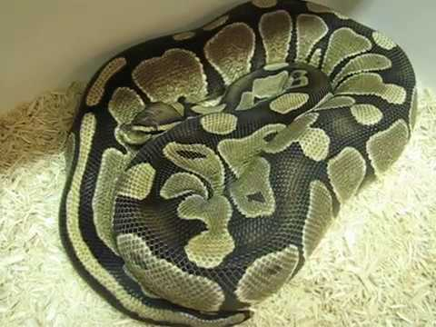 How I Breed Ball Pythons