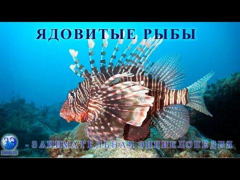 5. Самые ядовитые рыбы - морской дракон, европейский звездочет, рыба еж, рыба камень, скорпена ерш.