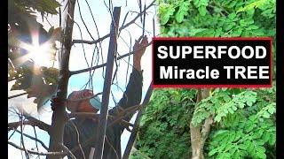 Moringa Growing Harvesting Eating Health Benefits Green Superfood Oleifera Leaves