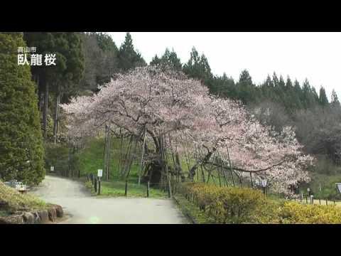 高山市 「臥龍公園」 ~臥龍桜~