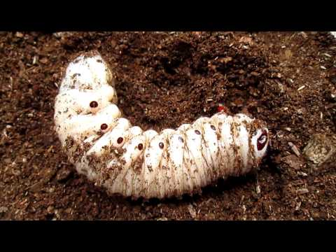 goliathus beetle  larv...