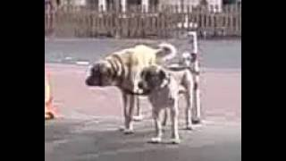 Pittbull Vs Turkish Kangal