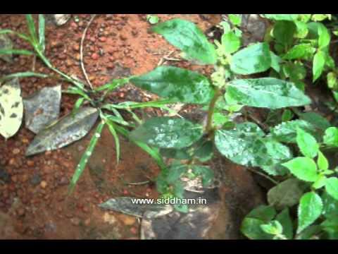 Natural Remedy Warts Euphorbia