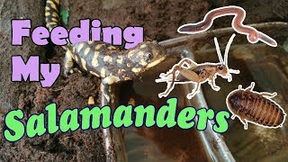 Feed My Pet Friday: Tiger Salamanders!