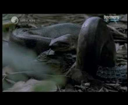 Anaconda eats Caiman