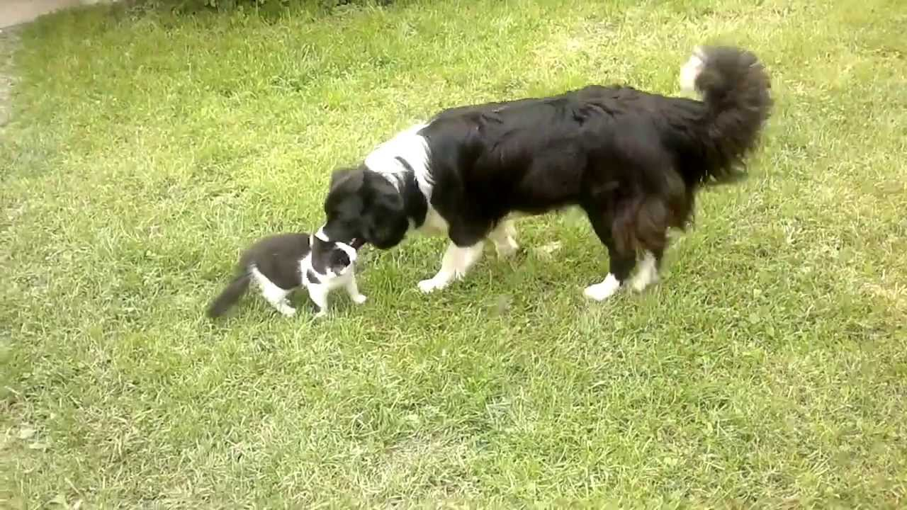 Border Collie And Cat Youtube
