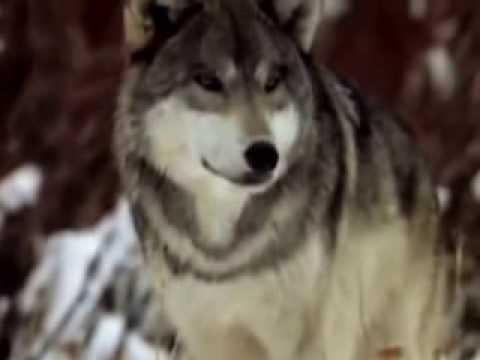 А. Розенбаум -  волчья месть