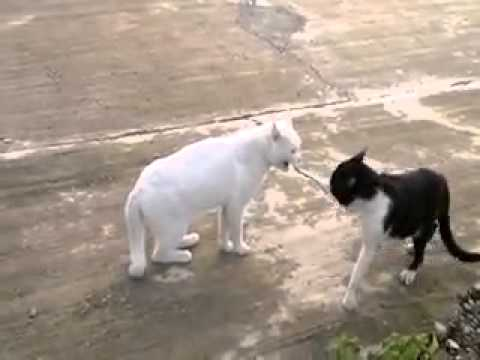 مضاربة قطاوه Cats hit