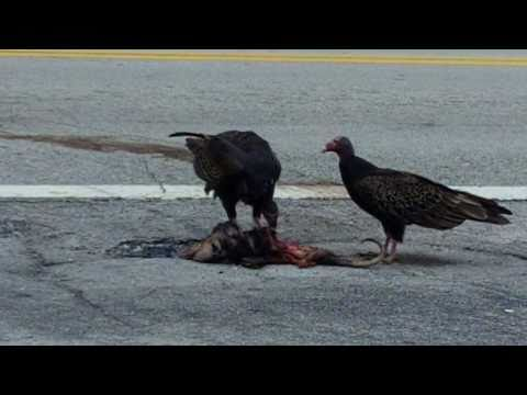 REAL Angry Birds - Flesh Eating Zombie Birds!  (Vultures in the Streets)
