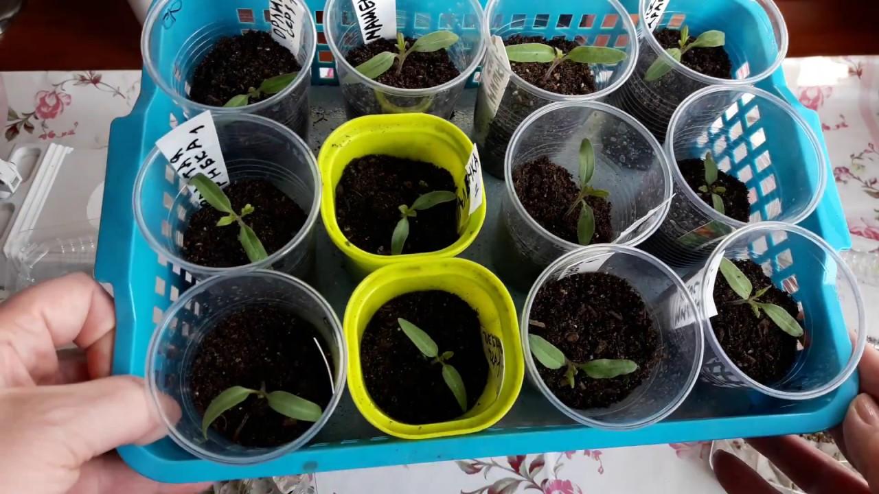 Как прорастить семена перца на рассаду 5