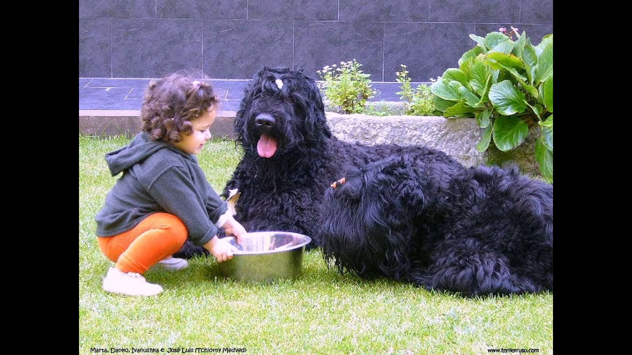 Black Russian Terrier Dog Breed Details Of Black Russian