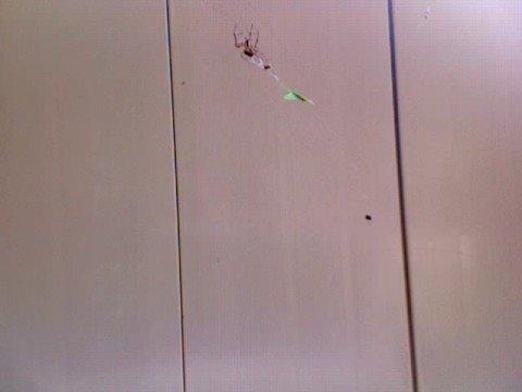 Spider eating a spider