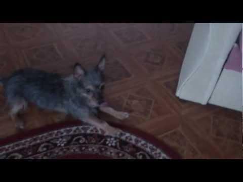 В Русия и кучетата пеят с Азис