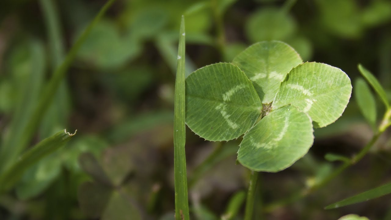 How Science Can Help You Find A 4-leaf Clover