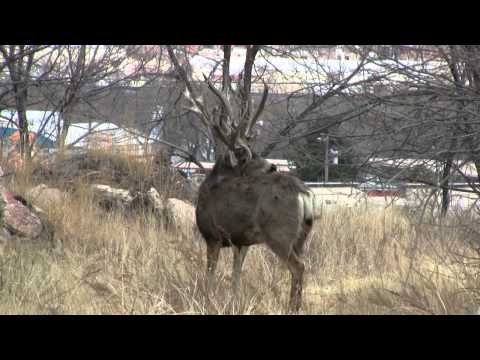 World Record Mule Deer. Double Beam. Huge Antlers. Shed Hunting. Tines Up
