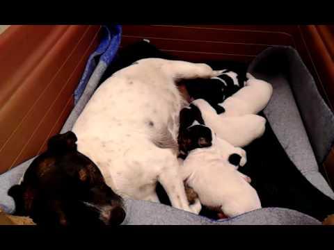 Nacimientos de cachorros fox terrier de la lulu