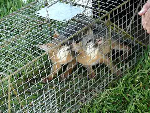 2 Young gray foxes caught in coon trap