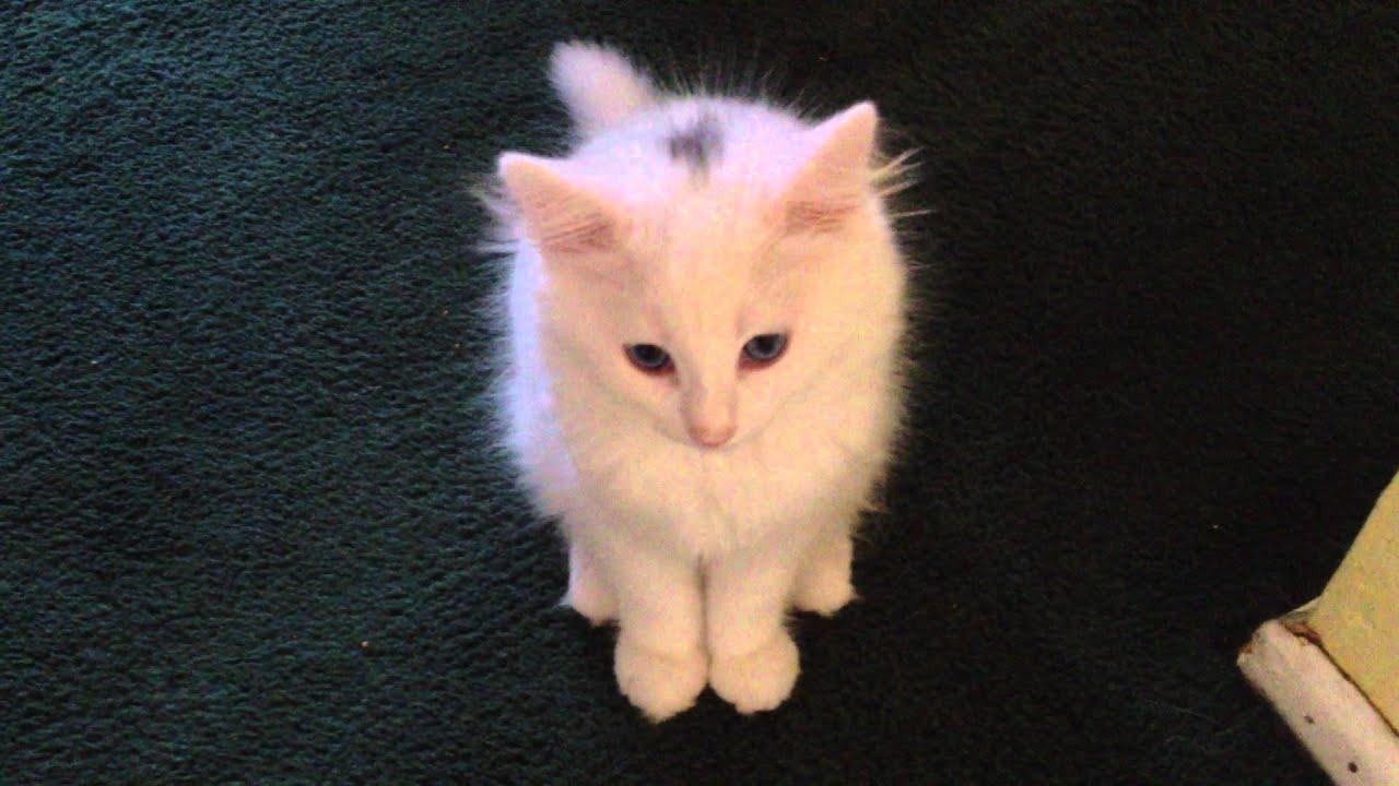 Cat behavior  Wikipedia