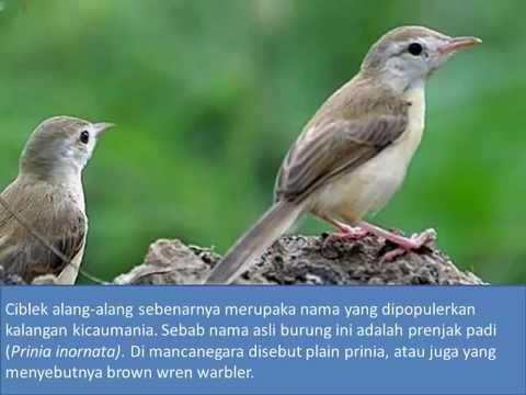 Kombinasi Kicauan Burung Ciblek Gunung dan Alang Alang untuk Masteran