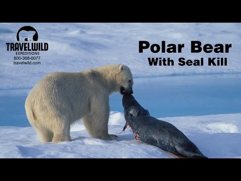 Polar Bear with Seal Kill