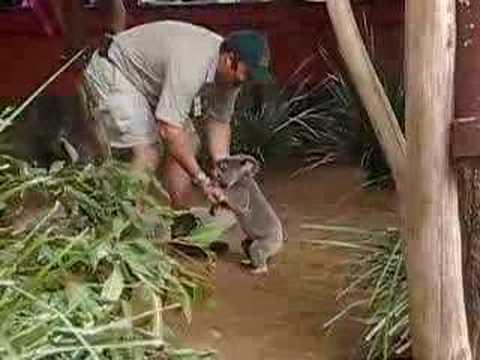 Steve Irwin's Koalas At Australian Zoo ~ # One video
