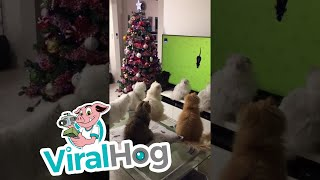Cats Watch TV Together || ViralHog