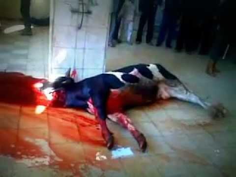 ذبح عجل في غزة 2011