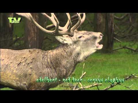 Red Deer rut -  Hertenbronst - Cervus Elaphus - Edelhert