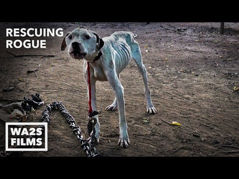 Howl Of A Dog: Pit Bull Starved With Heavy Chain - Rescuing Rogue with Detroit Pit Crew Dog Rescue