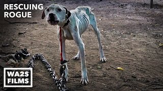 Pit Bull Starved on Heavy Chain Rescued by Detroit Pit Crew - Hope For Dogs Like My DoDo