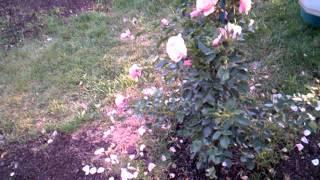 Como hacer un jardín de flores lindas las mejores rosas y Flores