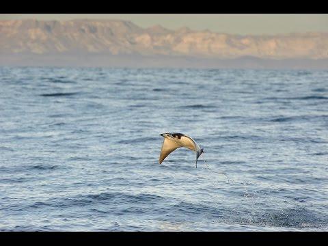 Manta Ray Jumping Manta Rays Jumping a Huge