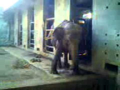 The Elephants at Surabaya Zoo (Indonesia)