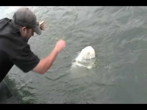 Oversize Sturgeon Fishing