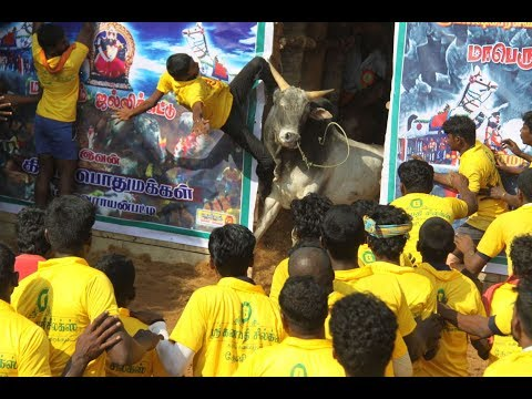 Jallikattu Melamadai-2013 Edition video