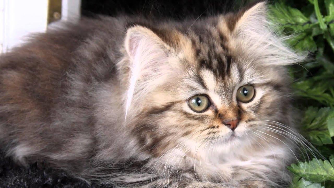 Sophie - Shaded Golden Tabby Persian Kitten for sale - YouTube Tabby Persian