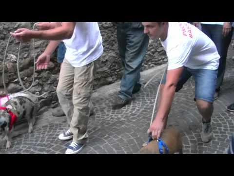 """BASSIANO (LT) : LA """"CORSA DEI PORCI"""" 2011"""