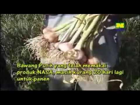Bawang Putih Tawangmangu Hp.087836843355.flv video