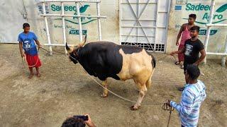 Pure Goyal the Bahubali COW | Paglami | Sadeeq Agro | RBGCH 2018