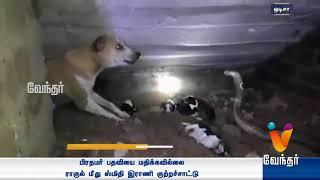 குடியிருப்புக்குள் நுழைந்த நாகம் 4 நாய்குட்டிகளை கொத்தி கொன்றது   Vendhar Tv News