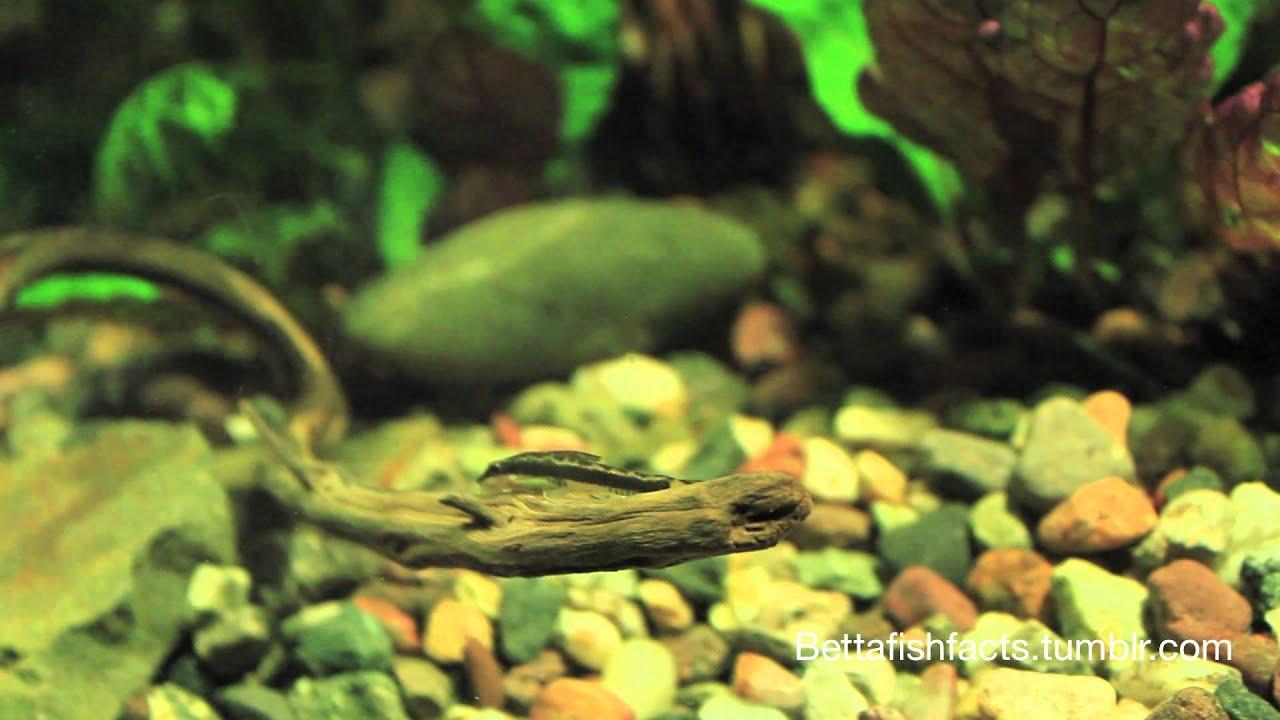 Ep 1 my choice of betta fish tank mates youtube for Tank mates for betta fish