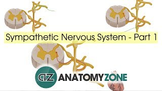 Sympathetic Nervous System Anatomy - Part 1