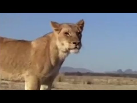 Suki the female lion leaves home - Pride - BBC animals Video